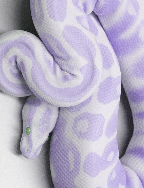 I don't know if Albino Boa Constrictors come in this color, but I will gladly take one if they do