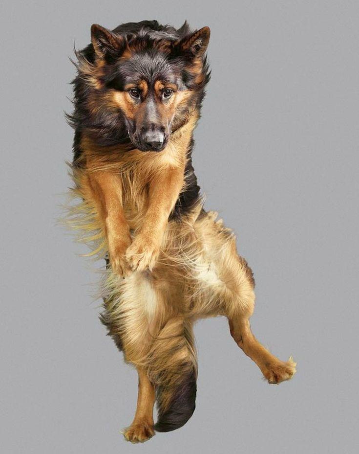 Les photographies de Julia Christe, une photographe animalière allemande qui s'amuse à capturer des chiens en plein vol, créant des portraits amusants et dé