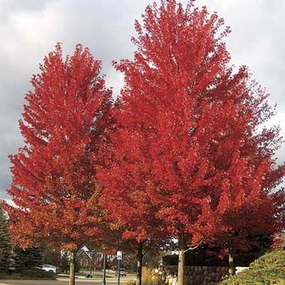 Freeman maple  (Acer x freemanii)  Zones 4–7    A hybrid maple with brilliant red-orange fall color. Grows 75–80 feet high by 45–50 feet wide; prefers full sun and moist, well-drained soil with neutral pH. The variety 'Autumn Blaze' is very fast-growing. It reaches 50–60 feet high, with a broad oval crown 40–50 feet wide.
