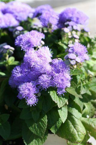 52 best FLOWERS AGERATUM images on Pinterest Garden photos