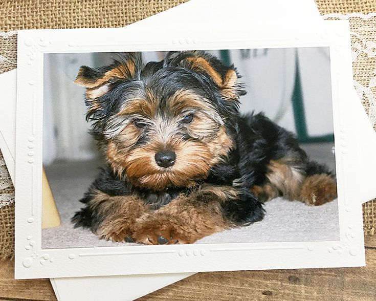 Yorkshire Terrier Photography Card, Dog, Puppy, Cute, Fluffy, Note, Pet, England, Embossed Border, Birthday, Thinking of You – 7″ x 5.25″   – Photography