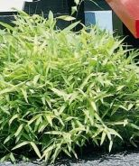 Dwarf Bamboo (Sasa pygmaea) - Monrovia - 1ft tall, low water. These usually spread aggressively.