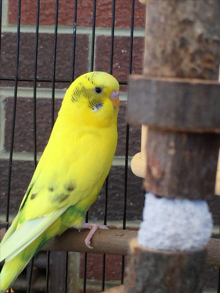 Bright yellow budgie
