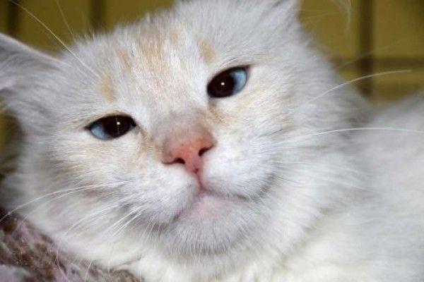 Siamese And Ragdoll Mixed Cat For Adoption In Conifer Colorado Phoenix In Conifer Colorado Cat Adoption Siamese Rescue Cats