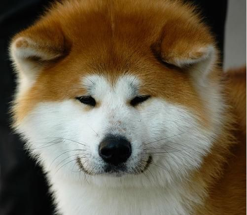 Akita-Inu-Oh I love those smiling face with such tiny eyes.