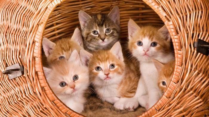 Широкоформатные обои Котята в круглой корзине, Рыже-белые котята выглядывают из круглой плетенной корзины
