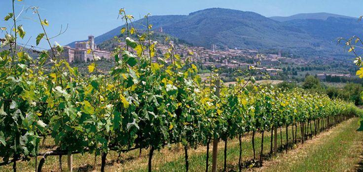 SAIO Assisi vineyards