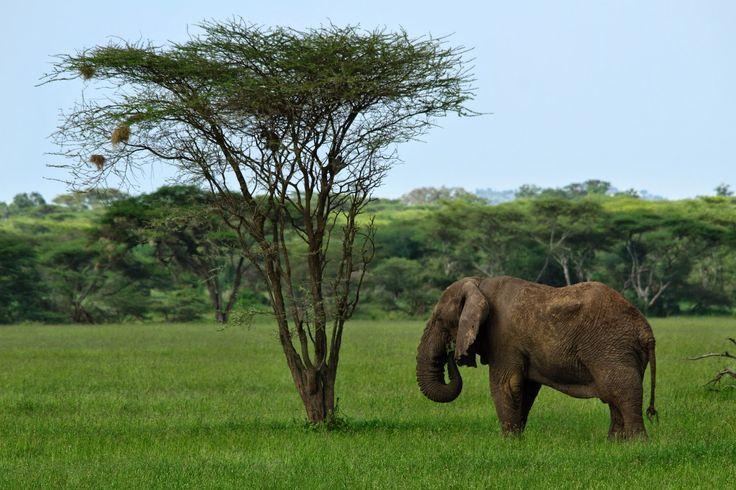 Apesar da caça furtiva em busca do ambicionado marfim, o maior mamífero do mundo ainda é um animal relativamente comum em África e dos mais fáceis de ser avistado no Parque Nacional do Serengeti. No entanto, e face à diminuição drástica que tem sofrido nas últimas décadas (as suas populações parecem diminuir a um ritmo …
