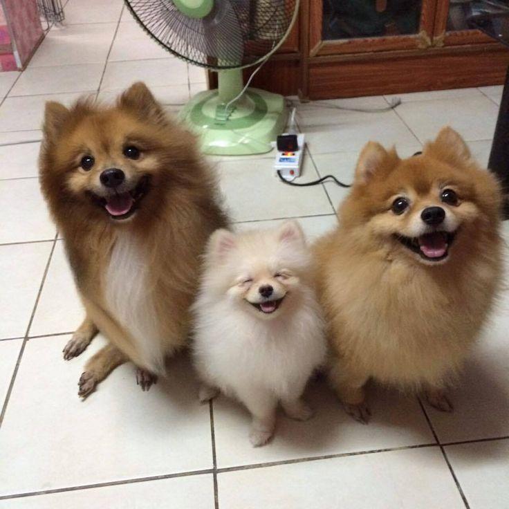 641 Best Lovely Pomeranians Images On Pinterest