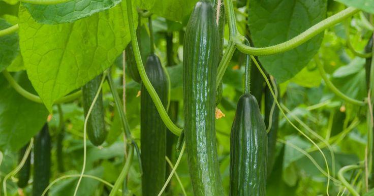 Gurken werden in Freiland- und Salatgurken unterschieden. Während Salatgurken in der Regel im Gewächshaus kultiviert werden, zieht man Freilandgurken im Garten. Diese werden zwar in der Regel zum Einlegen angebaut, sie schmecken aber auch im Salat