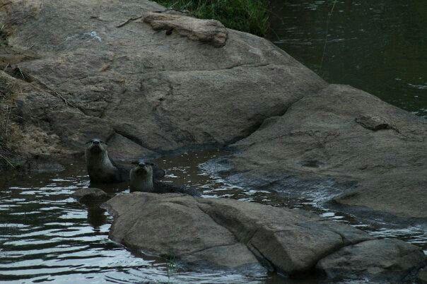 Cape Otters - Sabie River, Kruger Park