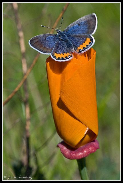 ✿⊱╮ HD: California Poppy Blossom with beautiful blue butterfly.