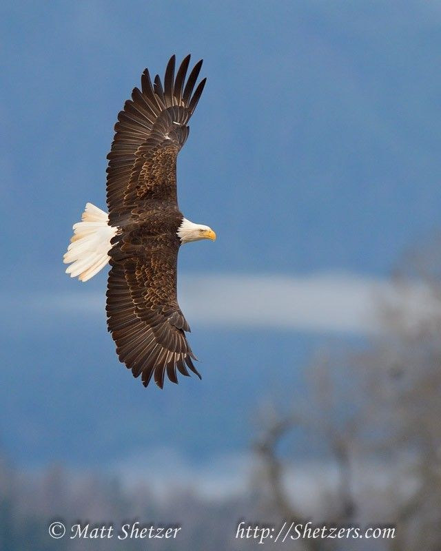 Portrait of a bald eagle in flight with full wingspan
