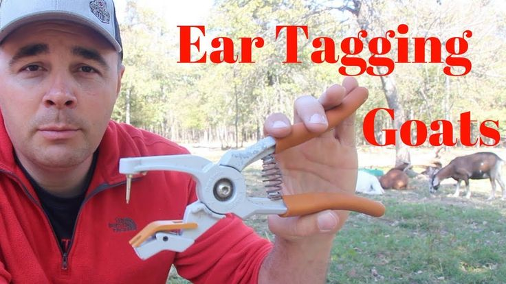 How and Why I Ear Tag My Goats - YouTube