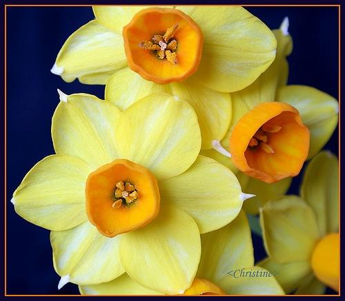 March birth flower --Jack White Jonquil Flowers