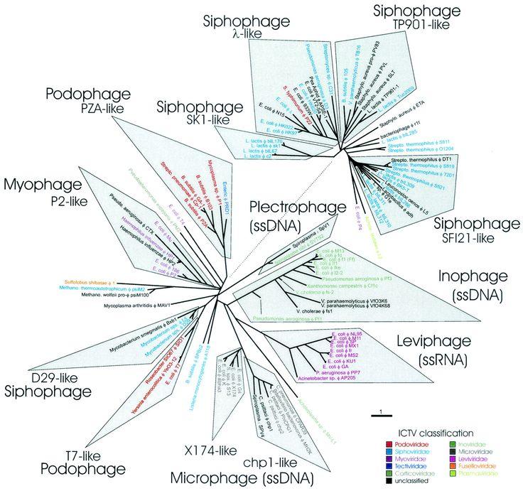 Prophage: Improving Human Virome Studies: Updates to Virus Classification