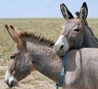 Adopt a Donkey: The Donkey Adoption Option - Hobby Farms
