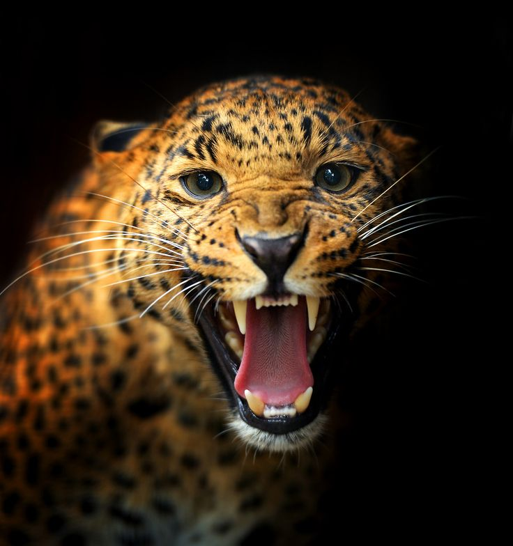Leopard Growl: 1000+ Images About Big Cats Say It With A Roar! On