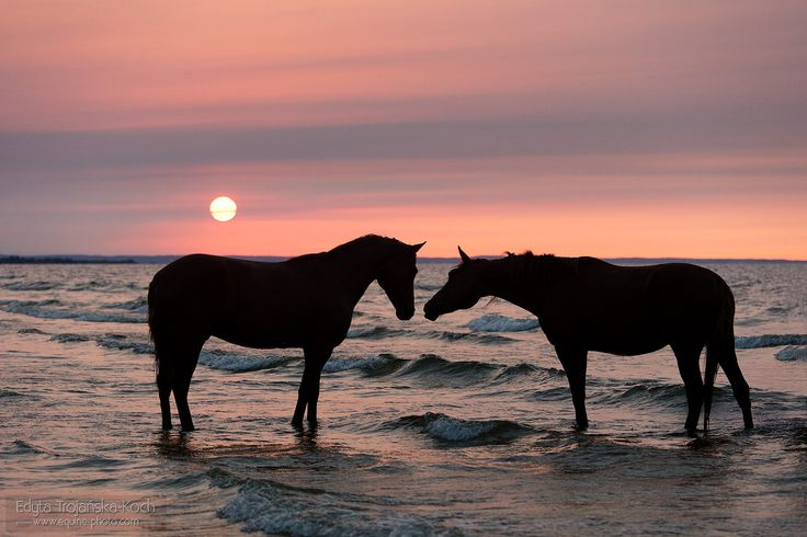 Horses in the sea.jpg - Horses nuzzling at sunset in the sea