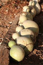 A Good Little Article About Drying Gourds