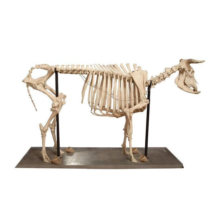 Scientific Anatomical Model of a Cow Skeleton | From a unique collection of antique and modern collectibles and curiosities at https://www.1stdibs.com/furniture/more-furniture-collectibles/collectibles-curiosities/