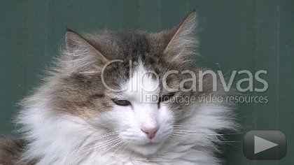 Download this free stock footage clip of cat, head, furry, offered by Birkley. Buy stock footage at Clipcanvas.com