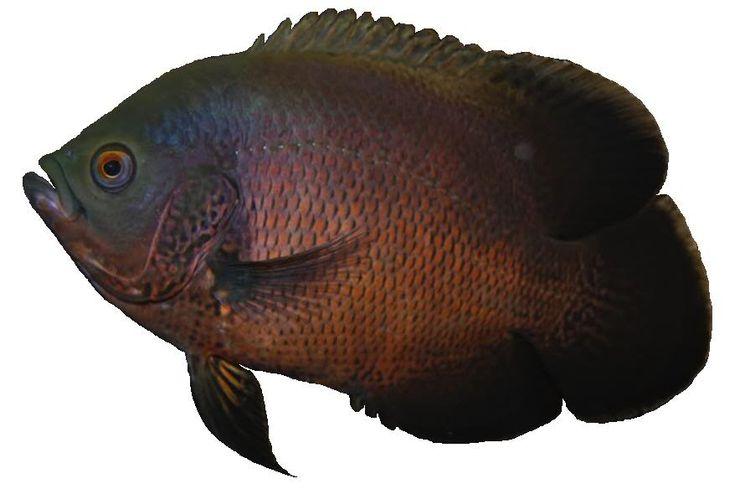 Best 25 oscar fish ideas on pinterest for All fish diet