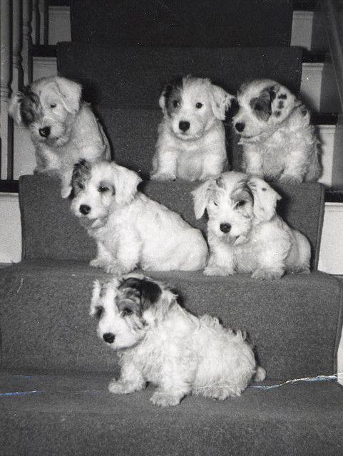 Sealyham puppies