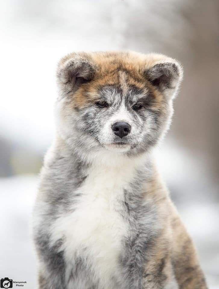 Pin By William Dolan On Love Of My Life In 2020 Akita Puppies Akita Inu Puppy Akita Dog