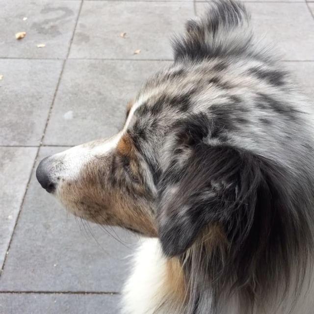 Where is my kid going? #australianshepherd #dogsofinstagram #dutchdogs