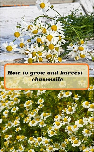 How to grow and harvest chamomile for teas and other herbal products.