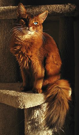 Somali Cat With Green Eyes | with livid lime green eyes and prominent eye teeth acid