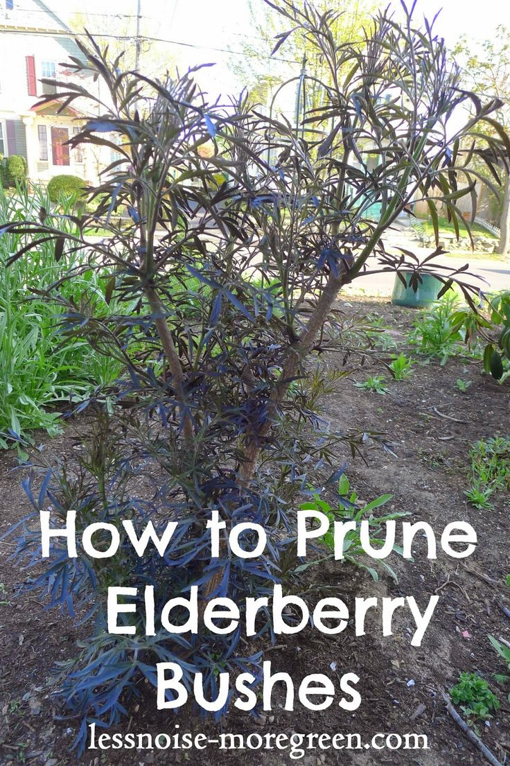 Less Noise, More Green: Pruning Black Lace Elderberry Bushes