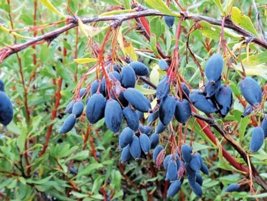 Meyvesi, kökü ve yaprağıyla bir Anadolu mucizesi olan karamuk hafif ekşi, mayhoş tadıyla sevilen ve insan sağlığına faydası kaçınılmaz bir yiyecektir.