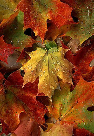 """""""Maple leaves after an autumn shower"""" The maple leaves are at the top of my gorgeous leaf list!:"""