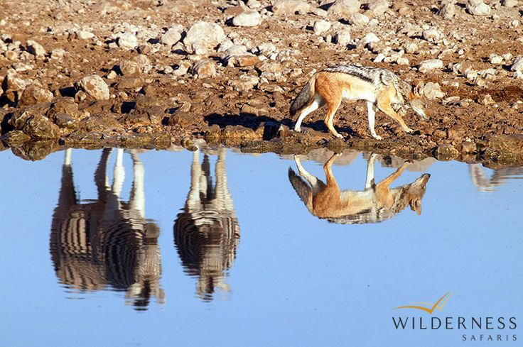 Little Ongava: Etosha Pan is parched and dry most of the time, but occasionally a few rivers and the unpredictable heavy summer rains fill it. After particularly good rains, Etosha Pan can attract over a million flamingos to its salty waters.   #Africa #Safari #Namibia