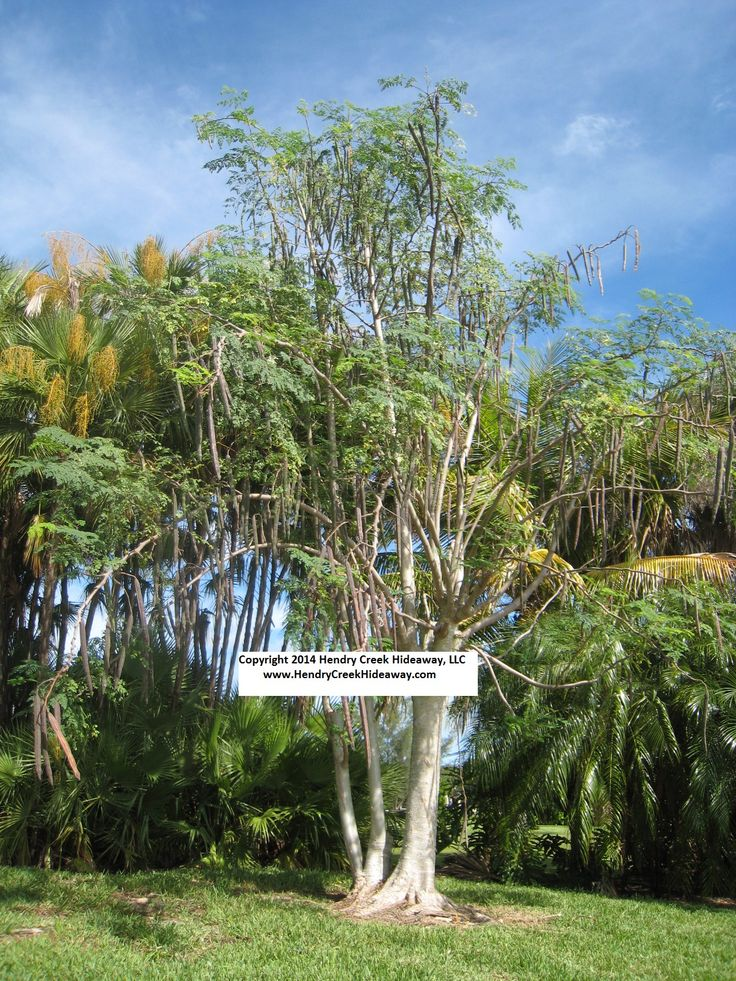 how to grow drumstick tree