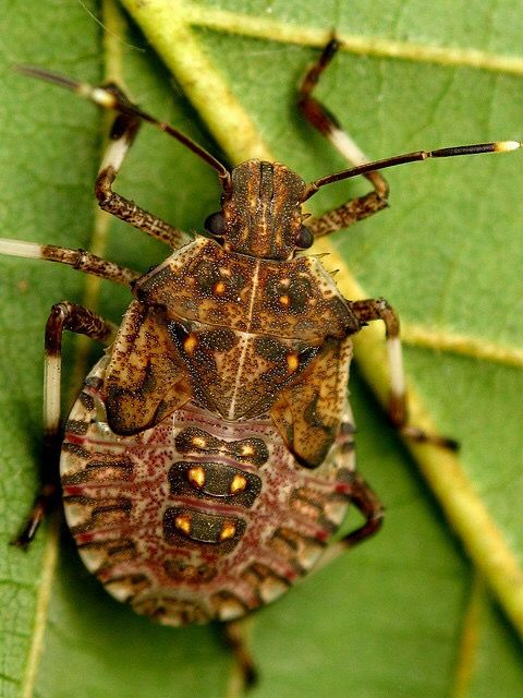 Forest Shield Bug (Pentatoma rufipes) Sri Lanka
