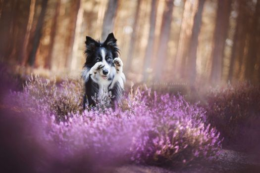 Heathland Paradise By Kristynakvapilova Dog Portrait Photography Dog Photos Beautiful Dogs Photos