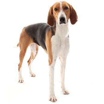 American Foxhound - Large Dog Breed Profile