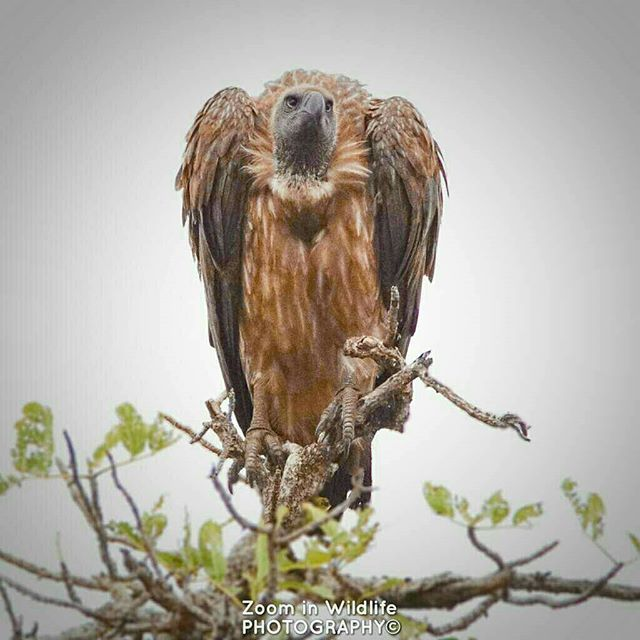 Reposting @zoominwildlife_photography: The King of Vultures waiting for that specific moment #vulture #whitebackedvulture #killoftheday #wild #africa