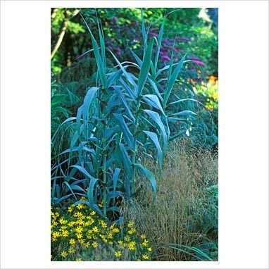 32 best images about dried grasses on pinterest for Ornamental grass that looks like wheat