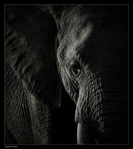 Elephant -  Cute Elephant