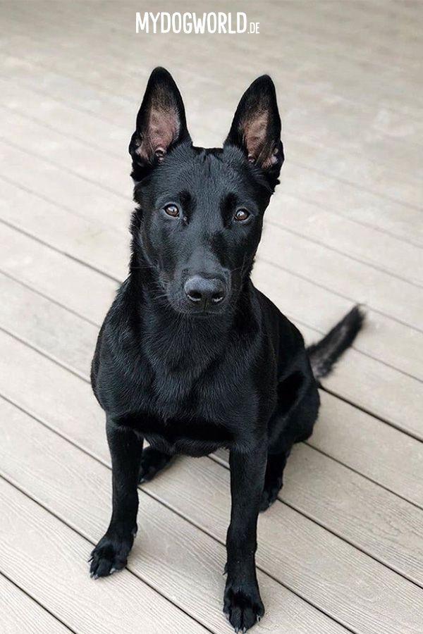 Black Shepherd Schwarzer Belgian Malinois Malinois Dog