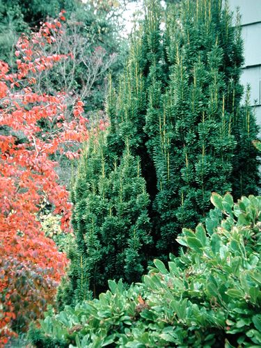 Irish Yew - mine is short and skinny and growing slowly, but definitely keeping its shape in the shade.