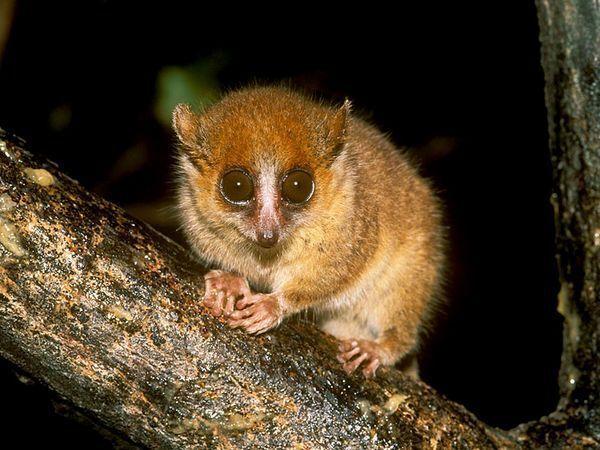 Dropbox - mouse-lemur_638_600x450.jpg