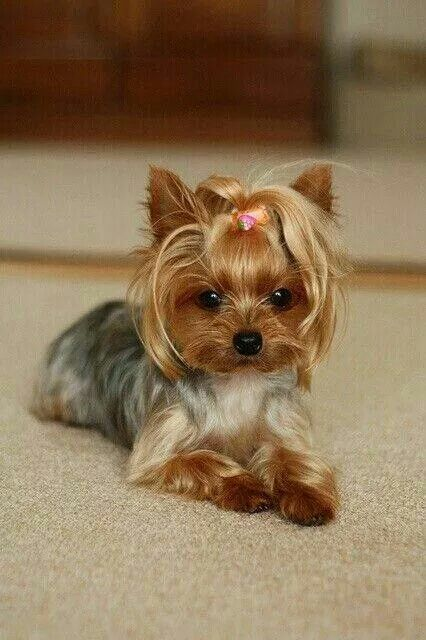 Yorkshire terrier--I want my sassy to look like this! ADG