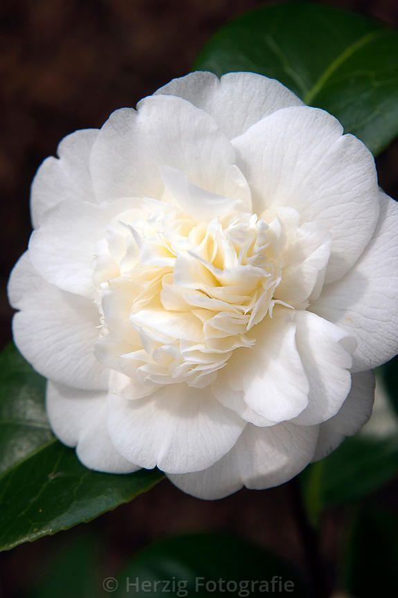 Camellia japonica 'Noblissima'