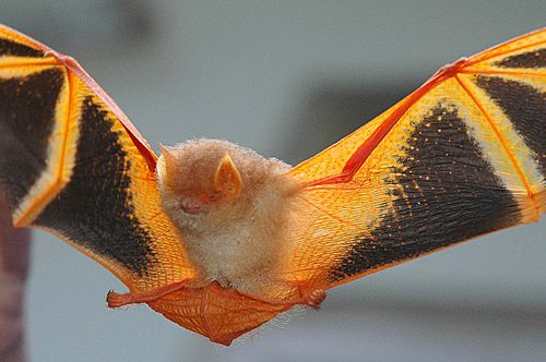 Orange Beuty....(Painted Bat) by Binish Malloossery, via Flickr