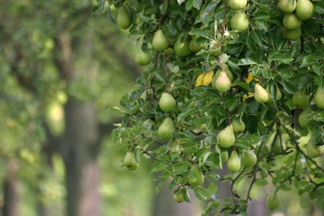 Starting an Orchard: Apples, Cherries, Peaches, Plums and Pears Learn where to plant your fruit trees, how to prune them, harvesting techniques and more.